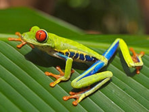 220px-Red_eyed_tree_frog_edit2
